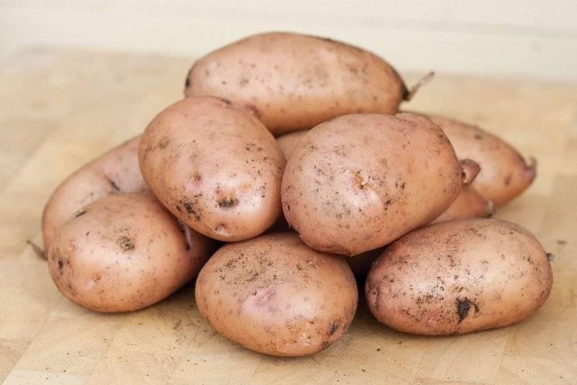 Сорт картофеля «ажур»: характеристика, урожайность, отзывы и фото
