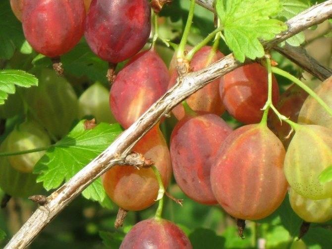 Сорта крыжовника с чёрными плодами: внешний вид, характеристики