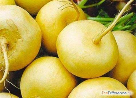 Чем отличается репа от редьки: что это такое, в чём разница корнеплодов, а также ответ на вопрос - являются ли они одним и тем же видом или нет?