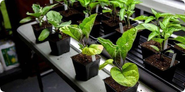 Как выращивать баклажаны в открытом грунте