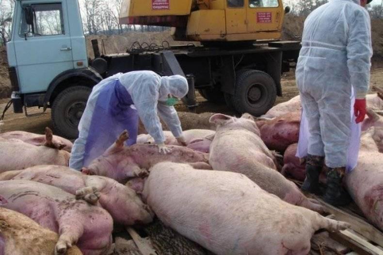 Возбудитель цумы свиней, ее симптомы и лечение, опасна ли для человека