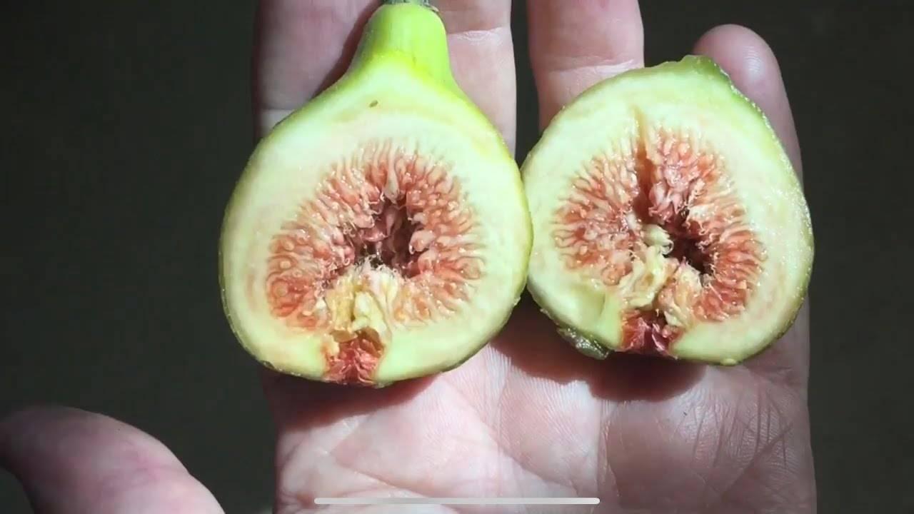 Инжир брунсвик: цена, описание, продажа – green life