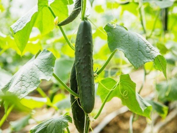 Огурцы в теплице: посадка и уход, болезни и вредители