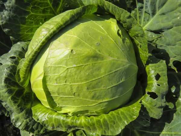 Характеристика и описание гибрида капусты колобок f1, выращивание и уход
