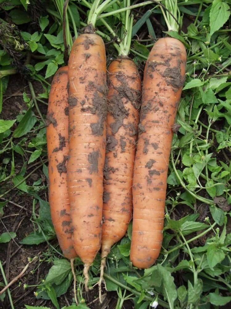 Морковь бангор — описание сорта, фото, отзывы, посадка и уход