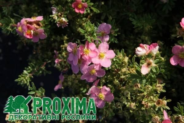Лапчатка пинк бьюти посадка и уход. лапчатка кустарниковая пинк бьюти (лавли пинк) (potentilla fruticosa pink beauty). «мерион ред робин»