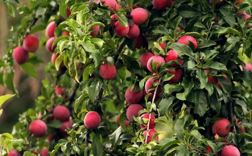 Сорт красный шар: как вырастить вкусную, скороспелую сливу