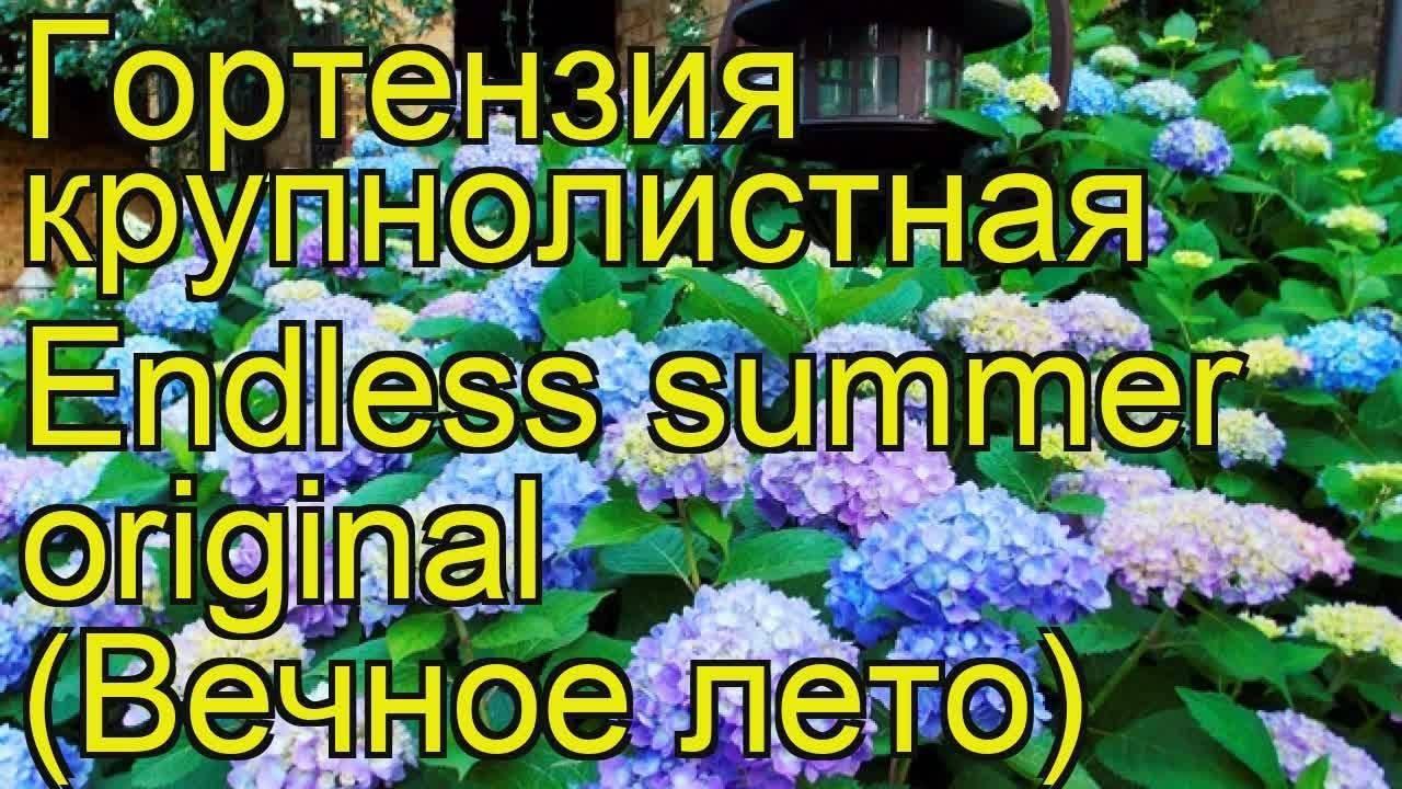 Гортензия бесконечное лето