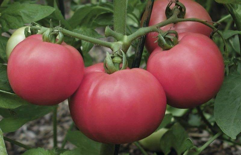 Голландские сорта помидоров: выбор лучших, посадка и уход
