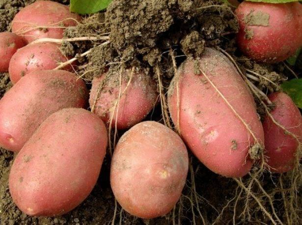 Описание и фото сорта картофеля беллароза. чем он хорош и стоит ли его сажать?