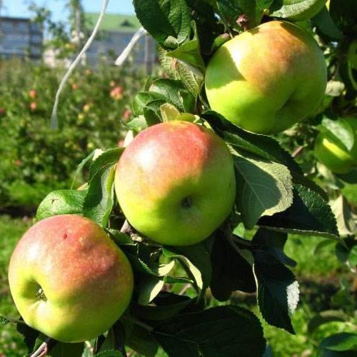 Яблоня «богатырь»: описание и отзывы