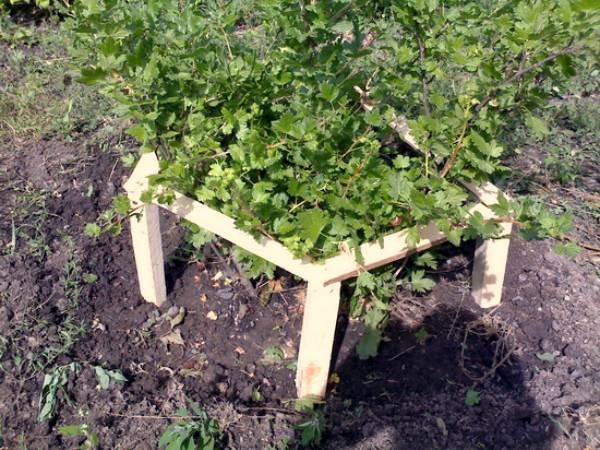 Крыжовник: уход весной, советы бывалых садоводов