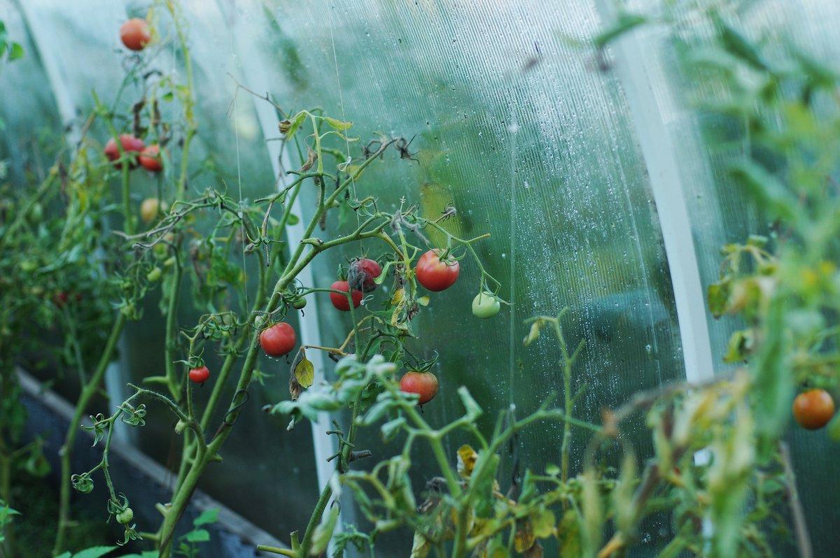 Медная проволока для помидоров от фитофторы