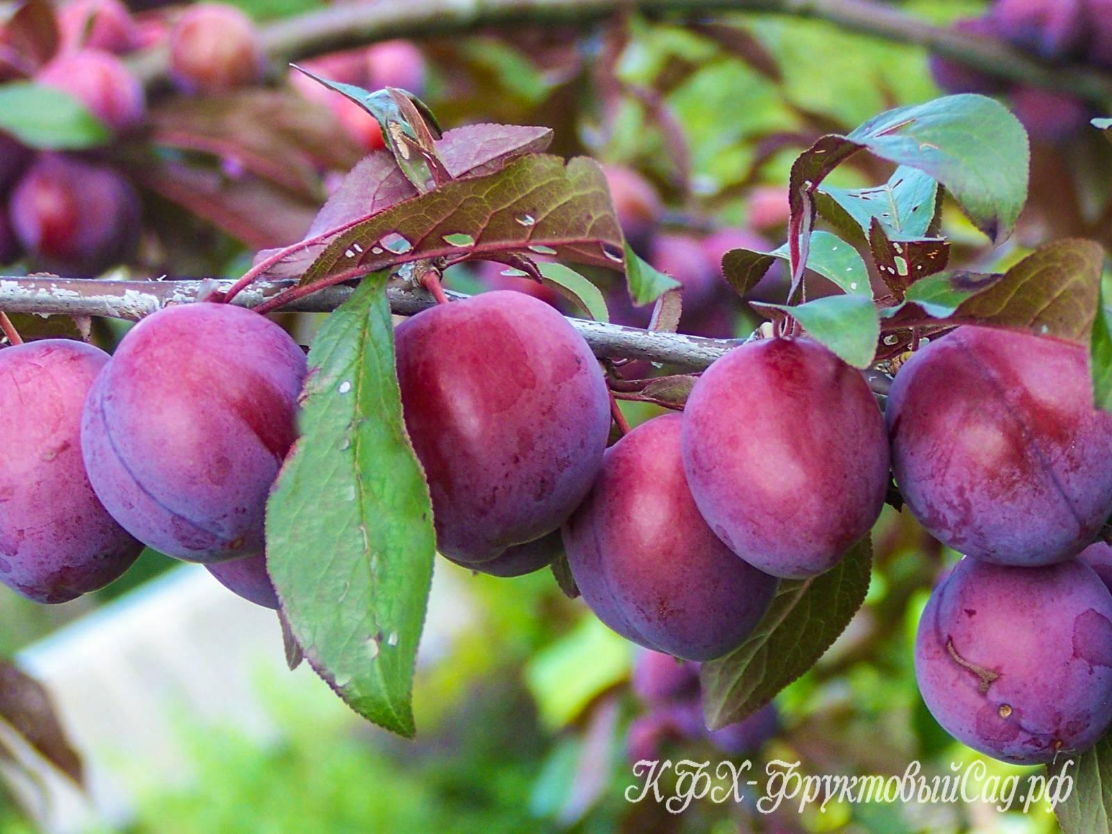 Сортовая колоновидная яблоня — валюта