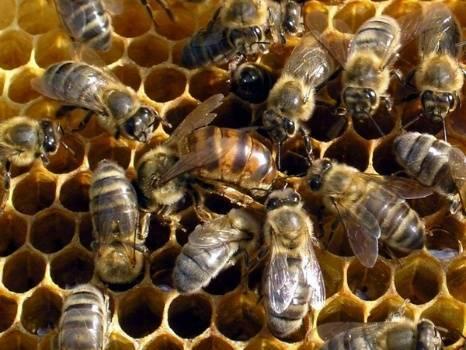 Исправление пчелиных семей с трутовками. матки кладут трутневые яйца