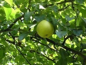 Выращивание груши сорта «августовская роса»