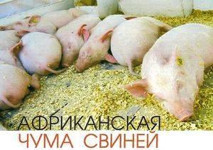 Африканская чума свиней: признаки заболевания, фото и профилактика