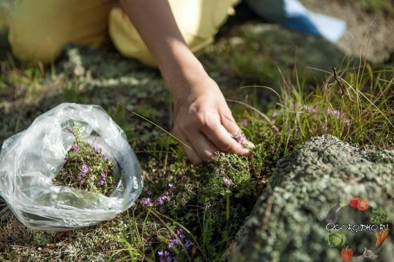 Бессмертник песчаный: как выглядит трава, где растет, от чего помогает и что лечит, как использовать в лечебных целях