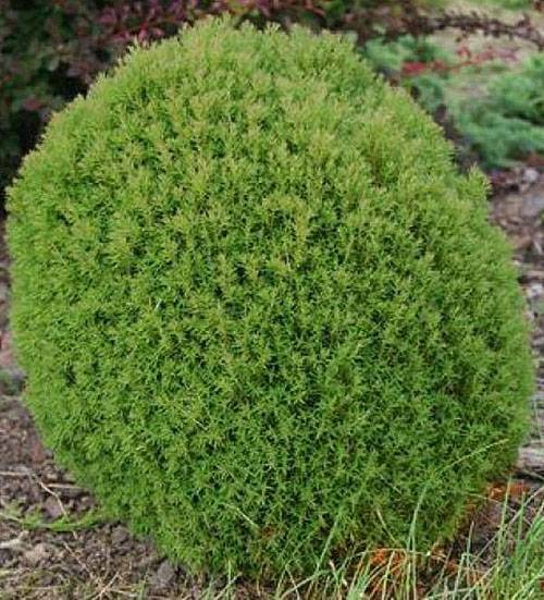 О туе тедди западная: описание сорта, как посадить и ухаживать за растением