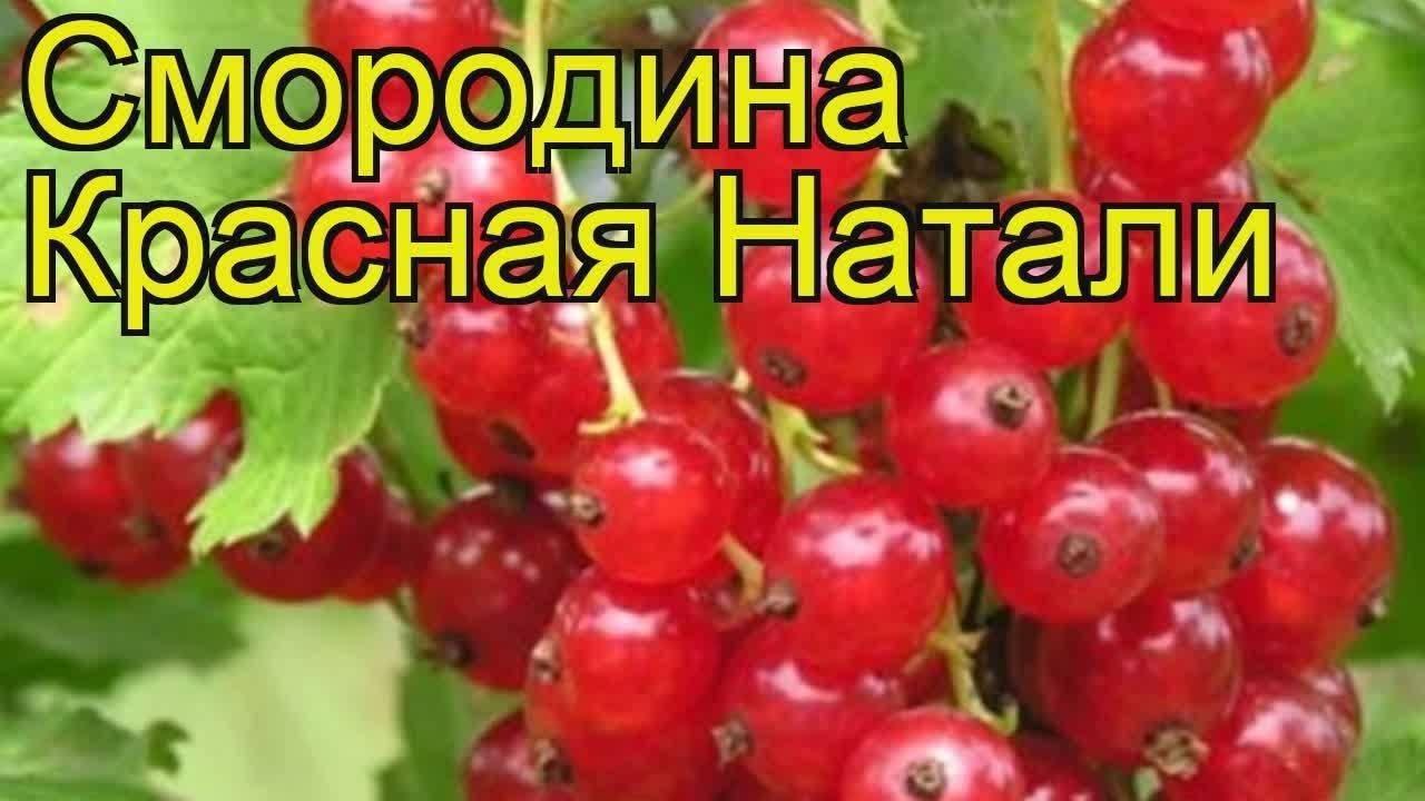 Красная смородина мармеладная описание сорта