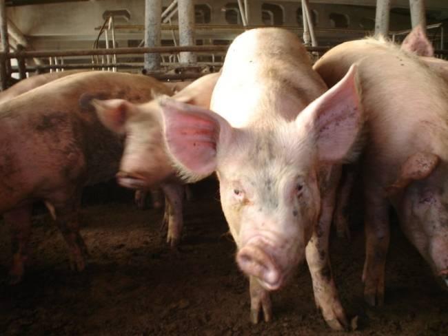 Пастереллез у свиней: симптомы и лечение