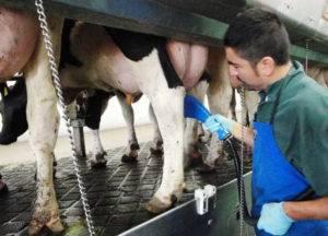 Правила лечения мастита у коров, использование народных средств