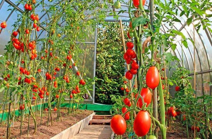 Идеальная температура в теплице для помидор: как ее достичь