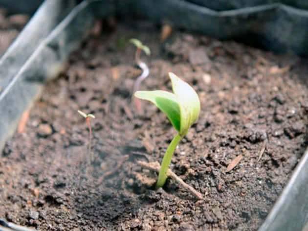 Выращивание огурцов: когда сеять рассаду для теплицы и парника. когда высевать семена огурцов на рассаду