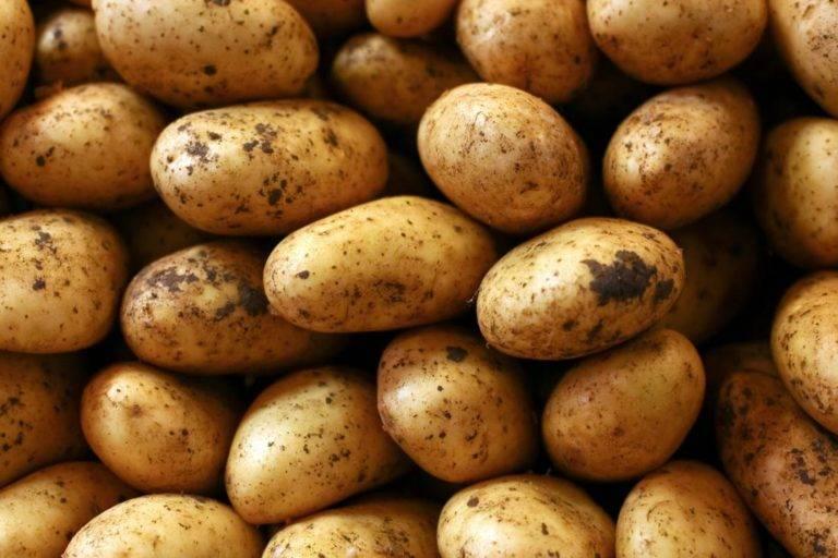 Картофель вектор: описание и характеристика, отзывы