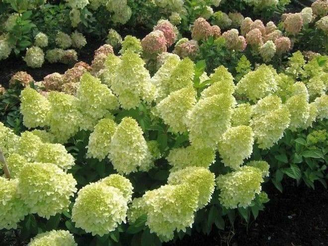 Гортензия метельчатая (пинк леди): описание, посадка и уход за цветком