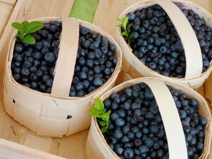 Садовая голубика: посадка и уход, фото, описание выращивания, полезные свойства