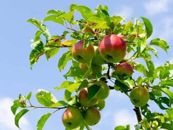 Посадка яблони весной и осенью: особенности весенней и осенней посадки в зависимости от региона