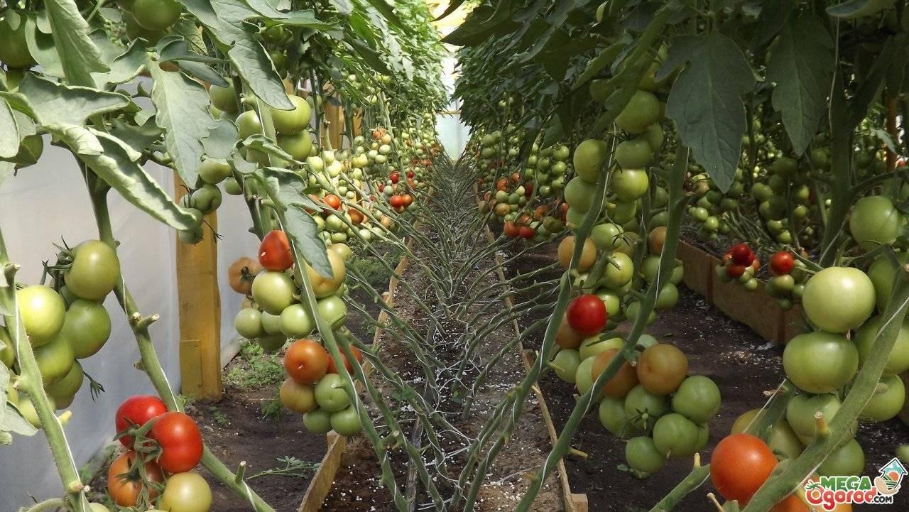 Подкормка помидоров в теплице, к примеру, из поликарбоната: какие удобрения и когда использовать для томатов в первый раз, после высадки и при уходе за цветущими?