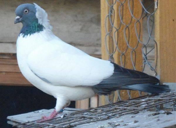 Особенности породы крестовых голубей монахов