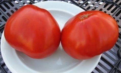 Томат пышка — описание и характеристика сорта