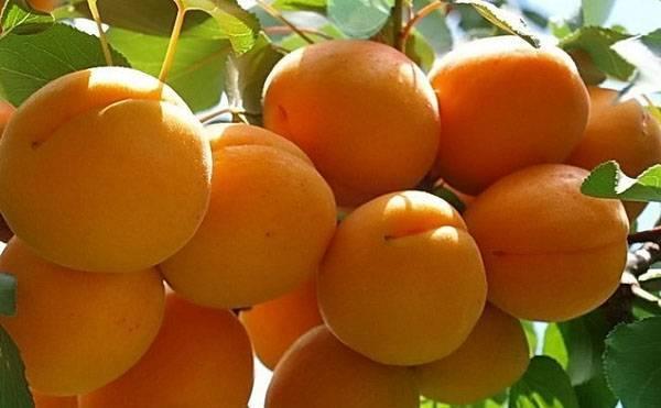 Выращивание урожайного и морозоустойчивого кичигинского сорта абрикоса