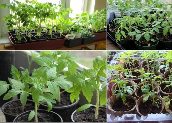 Рецепты подкормок рассады помидоров. чем удобрять до и после пикировки?