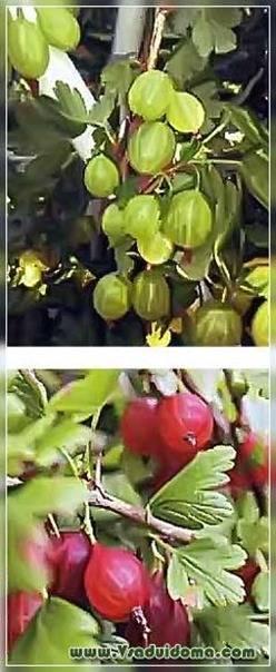 Крыжовник ласковый: характеристика, особенности выращивания и размножения