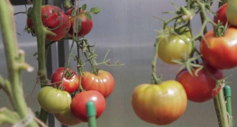 Описание и характеристики гибрида томата гордость застолья f1
