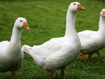 Холмогорская порода гусей: описание, мой отзыв по содержанию