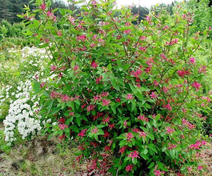 Жимолость татарская: красивые цветки, вкусный мед и ядовитые ягоды