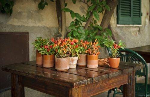 Выращивание декоративного перца из семян. декоративный перец: выращивание и уход