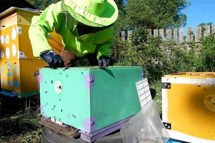 Как объединить два улья пчелосемьей?