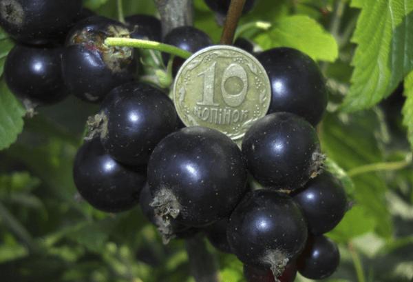 Черная смородина экзотика набирает популярность у дачников