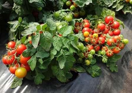 Лучшие сорта красных и желтых томатов черри для разных регионов страны: с фото и описанием - общая информация - 2020