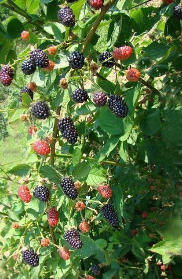 Особенности выращивания ежевики сорта гай