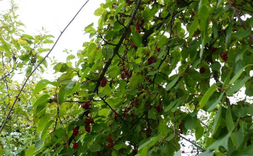 Растение лимонник: посадка и выращивание в саду, фото, полезные свойства и противопоказания
