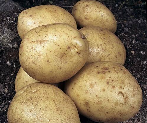Сорт картофеля «даренка» – описание и фото