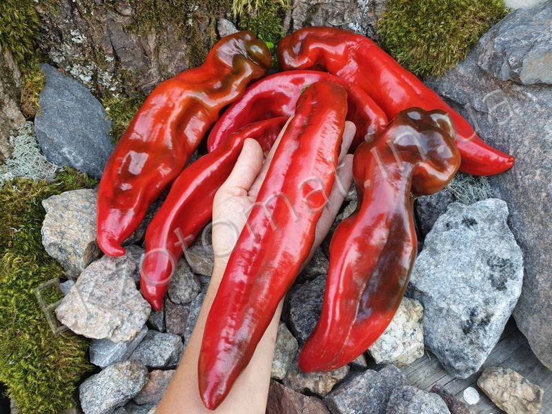 Легендарный сладкий перец рамиро — опыт выращивания и использования