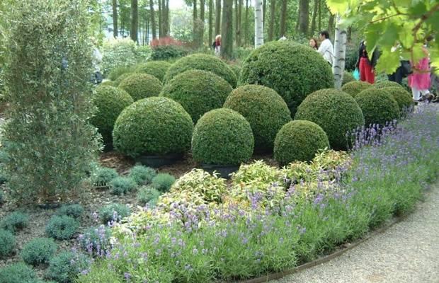 Самшит (буксус): размножение вечнозеленого кустарника, обрезка, посадка, уход в домашних условиях и фото